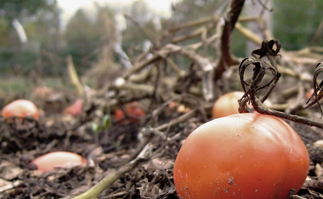 2007.10.20 Autumn Tomato